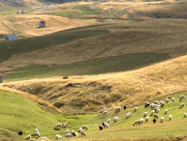 U toku popis ovaca i koza
